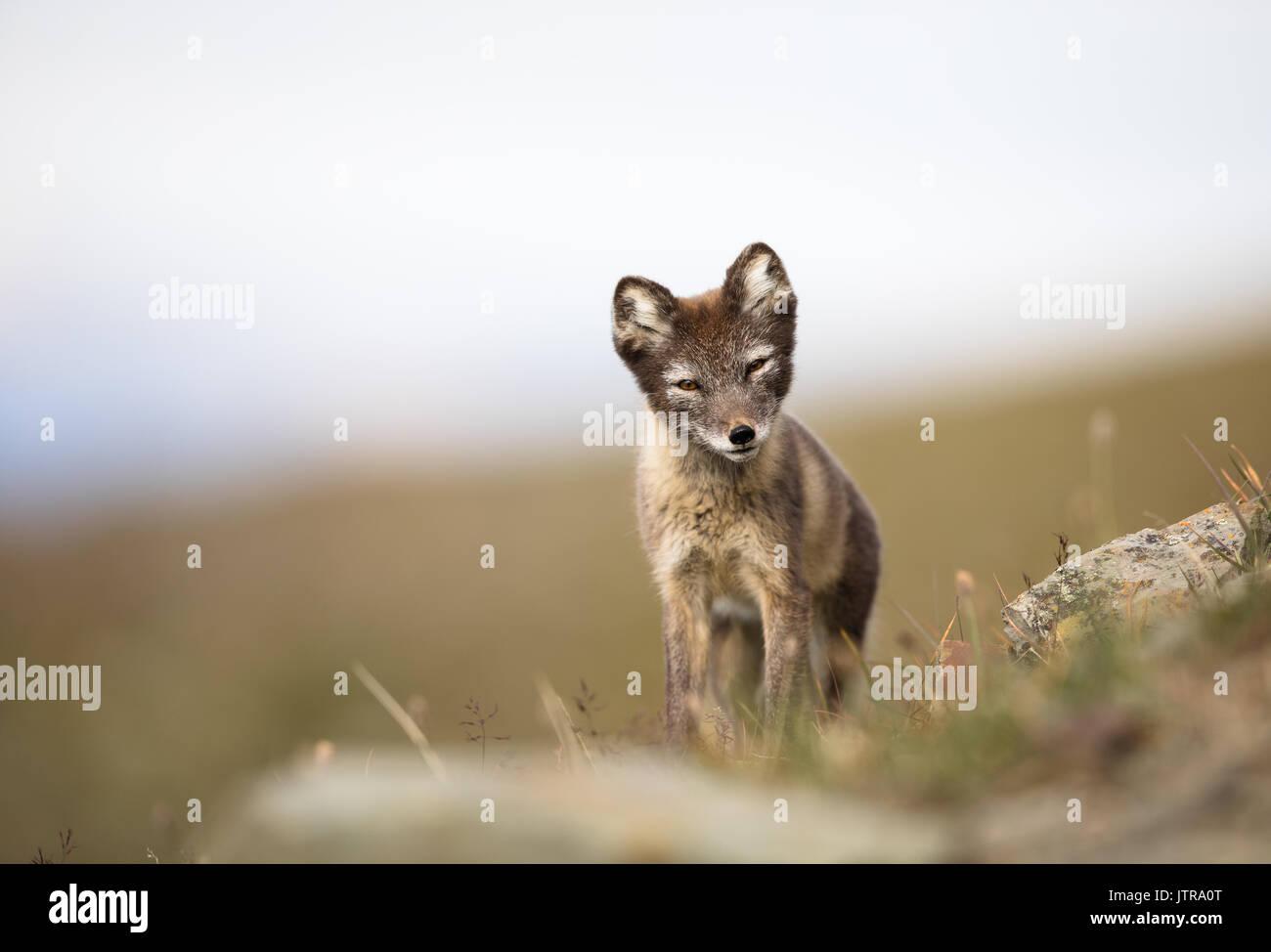 Arctic Fox, Vulpes lagopus, cub in natural habitat, summer in Svalbard Norway - Stock Image
