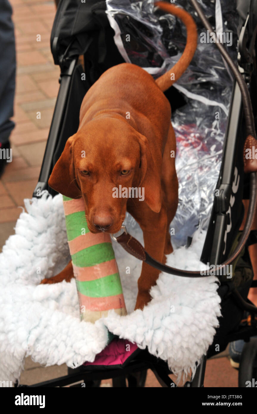 a Hungarian vizsla puppy dog wearing a plaster cast with a broken leg a trip to the vets pedigree dogs injured hounds - Stock Image