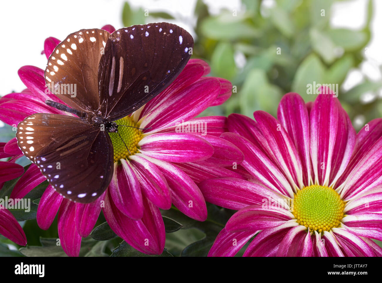 Striped Blue Crow Butterfly (Euploea sylvester harrisii) on Red Mum - Stock Image