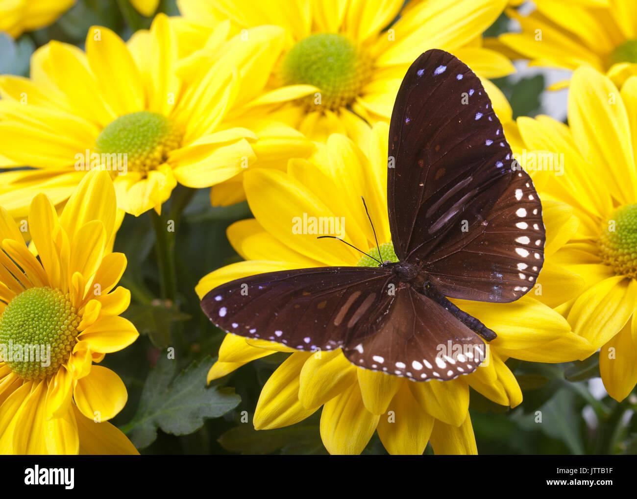 Striped Blue Crow Butterfly (Euploea sylvester harrisii) on Yellow Chrysanthemum - Stock Image