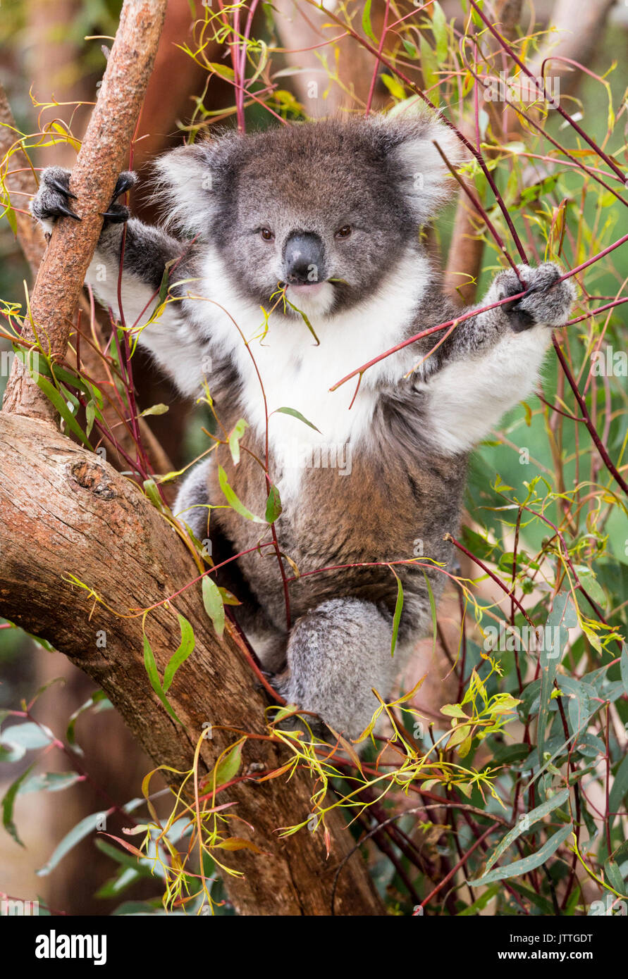 Fluffy young koala eating gum leaves Stock Photo