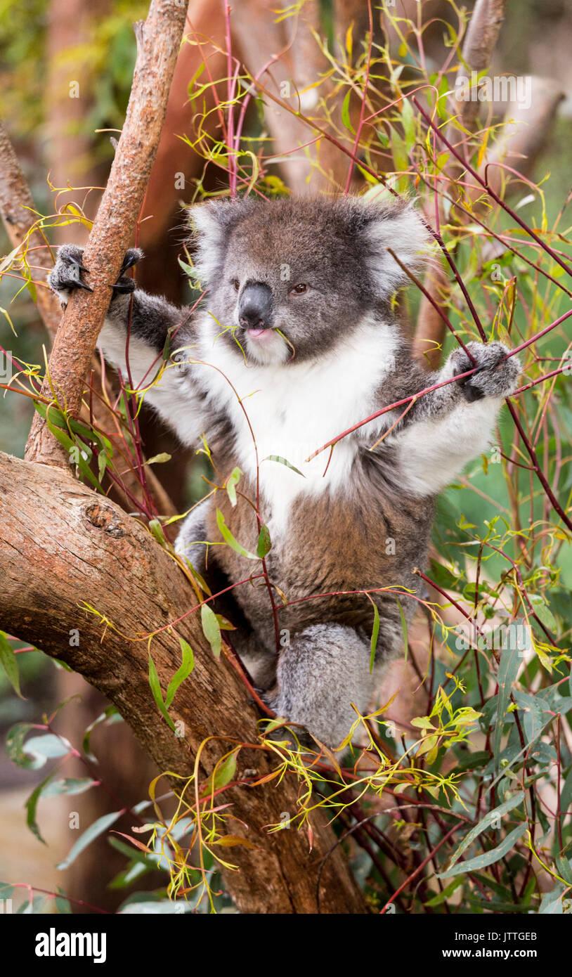 Fluffy young koala eating gum leaves - Stock Image