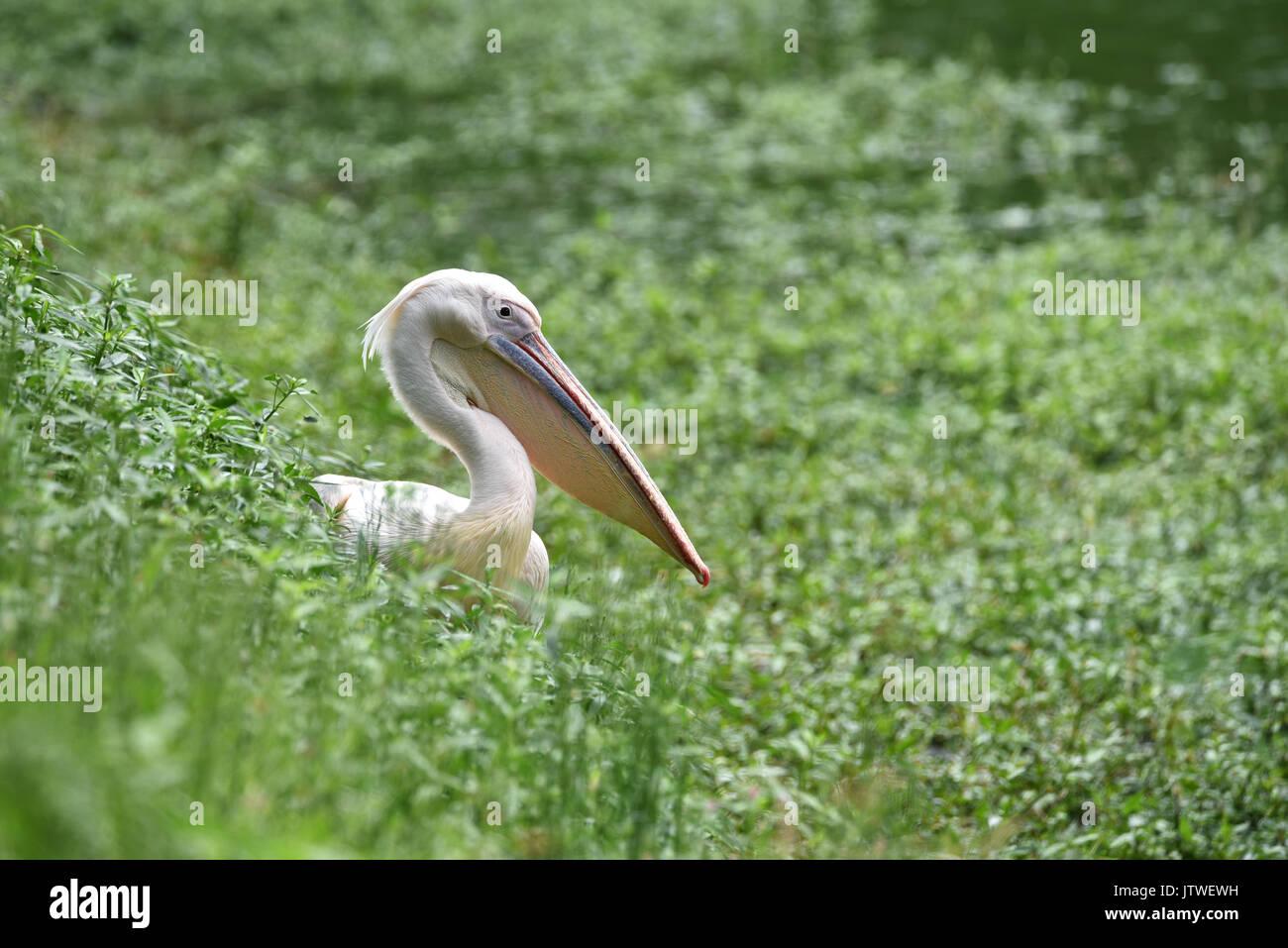 white pelican (Pelecanus erythrorhynchos) hiding in the grass field - Stock Image