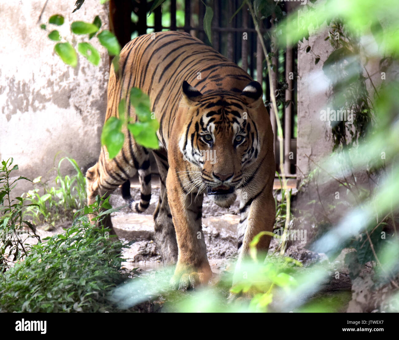 royal bengal tigers The royal bengal tigers of bangladesh 15k likes the page is dedicated to the royal bengal tigers living at the bangladeshi region of the largest tidal.