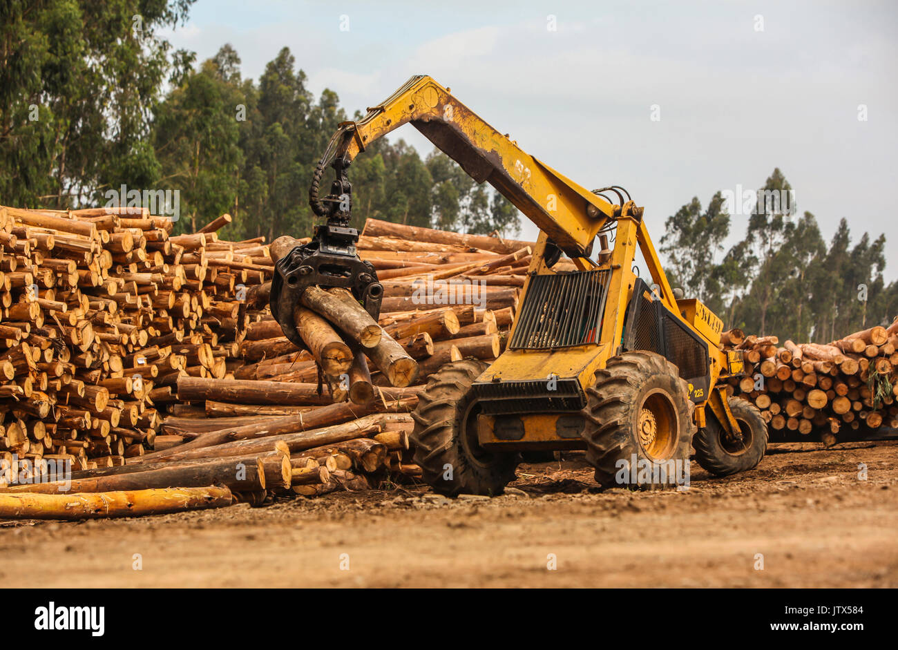 A heavy logging machine with grapple hook stacking cut logs from a