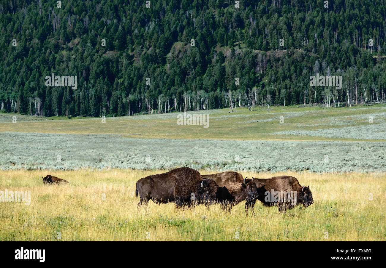 Bison laze in open pasture at dawn surrounded by grassland and pine forest in Yellowstone National Park, Wyoming, USA. - Stock Image
