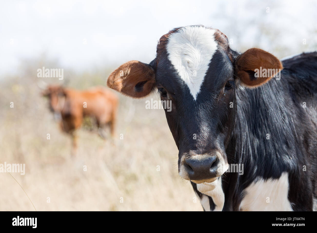 Indigenous calf with attractive white and black markings in the Mpumalanga lowveld - Stock Image