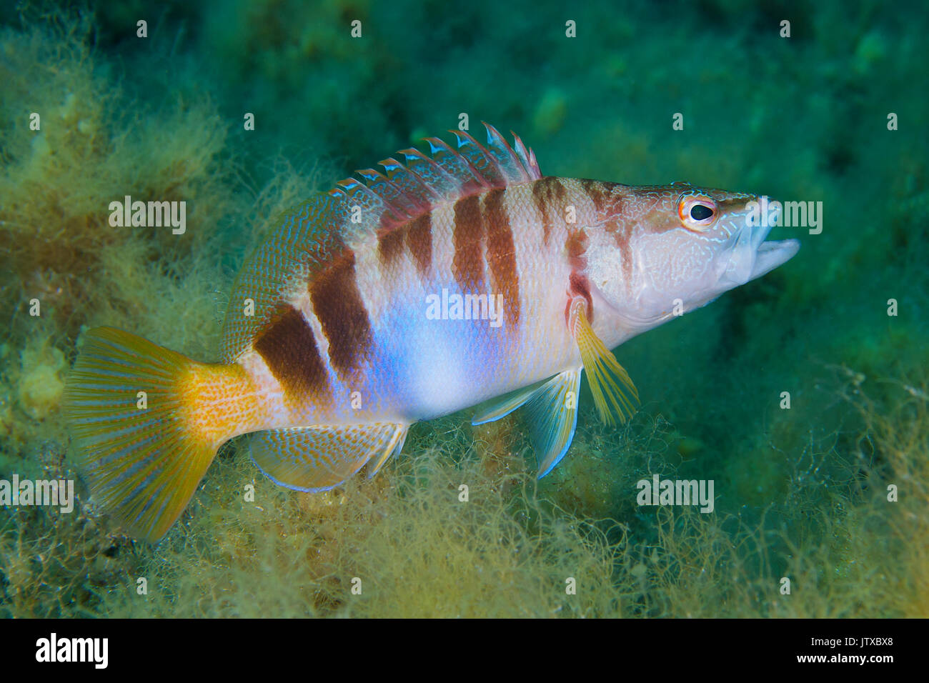 A painted comber (Serranus scriba) shows its colorful and cryptic design at Ses Salines Natural Park in Formentera (Balearic Islands, Spain) - Stock Image