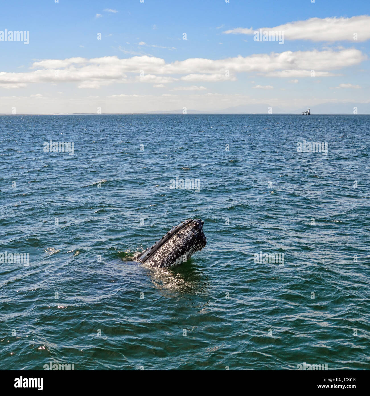 A Humpback Whale spyhopping in False Bay, South Africa - Stock Image