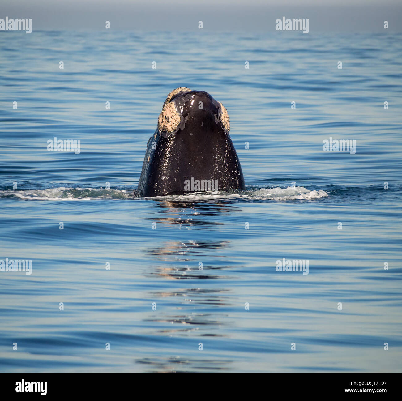 A Southern Right Whale spyhopping in False Bay, South Africa - Stock Image