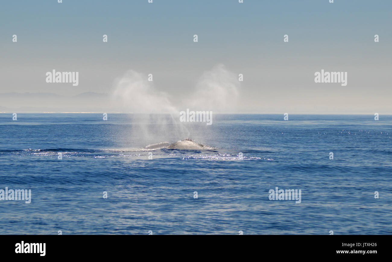 Southern Right Whale blowing in False Bay, South Africa Stock Photo