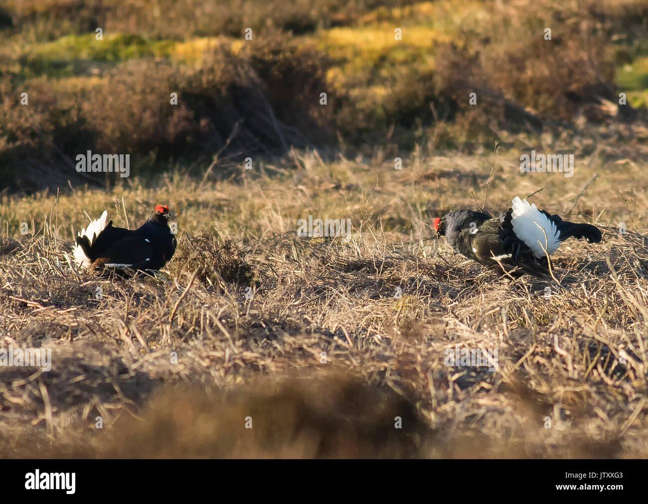Black Grouse Lekking - Stock Image