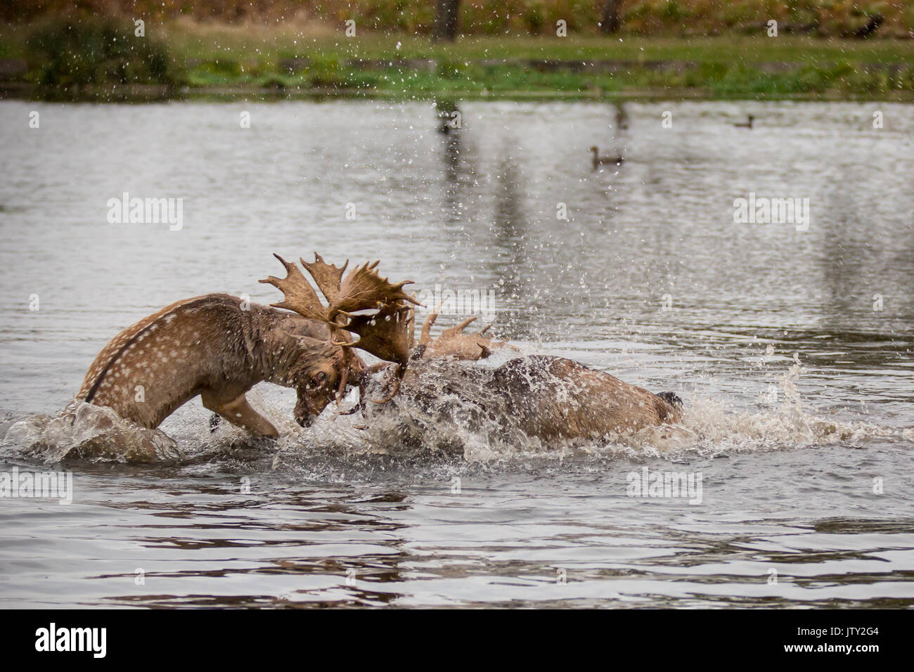 Young Fallow deer bucks rutting in the pond at Bushy Park - Stock Image