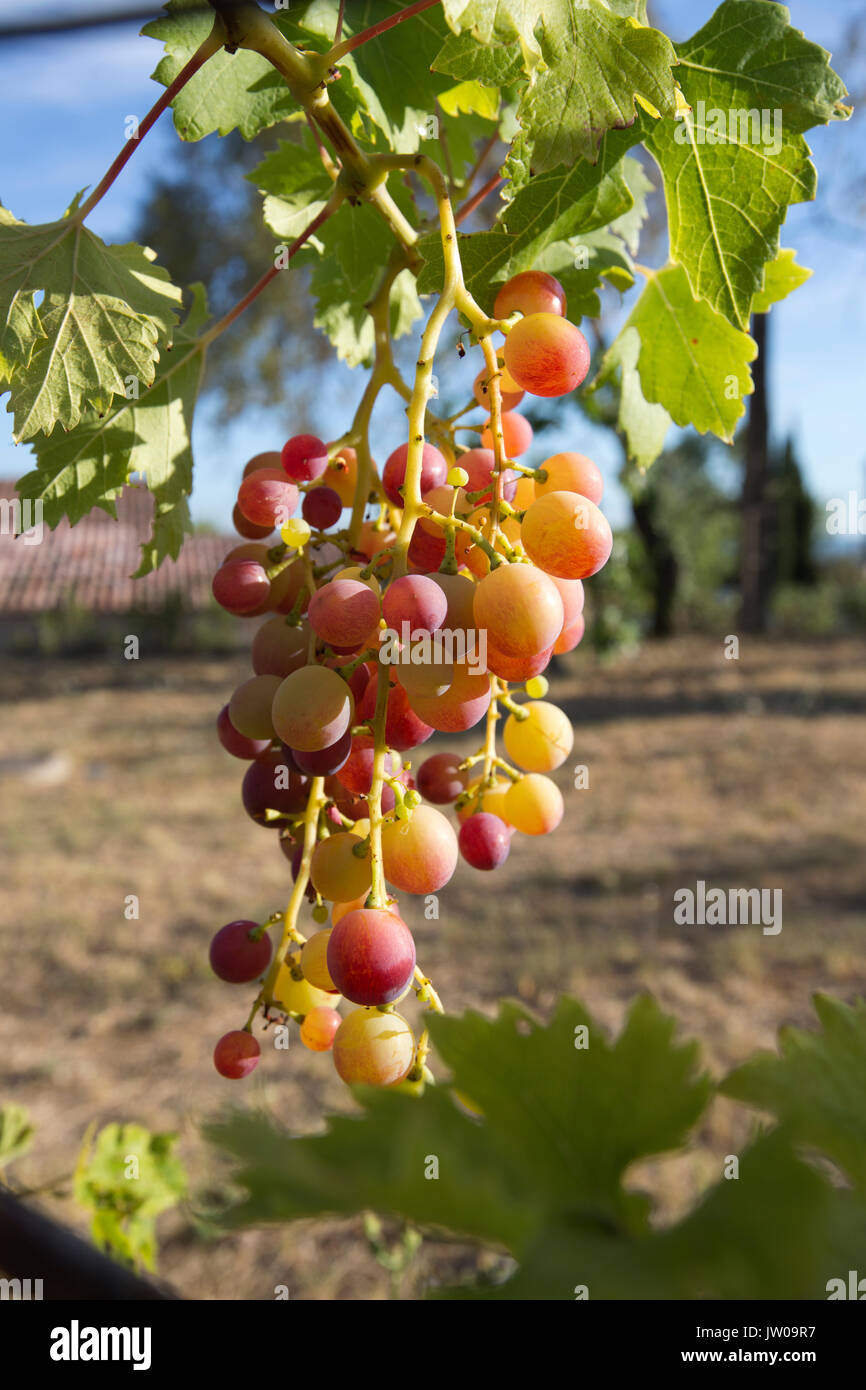Ripening grapes on a grape vine in the Provence-Alpes- Cote d'Azur region of southeastern France, Europe - Stock Image