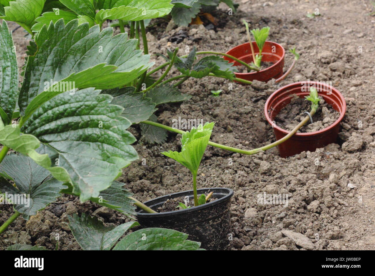Runners from a healthy, mature strawberry plant are pegged into pots sunk into the ground to propagate new plants in an English kitchen garden,UK - Stock Image