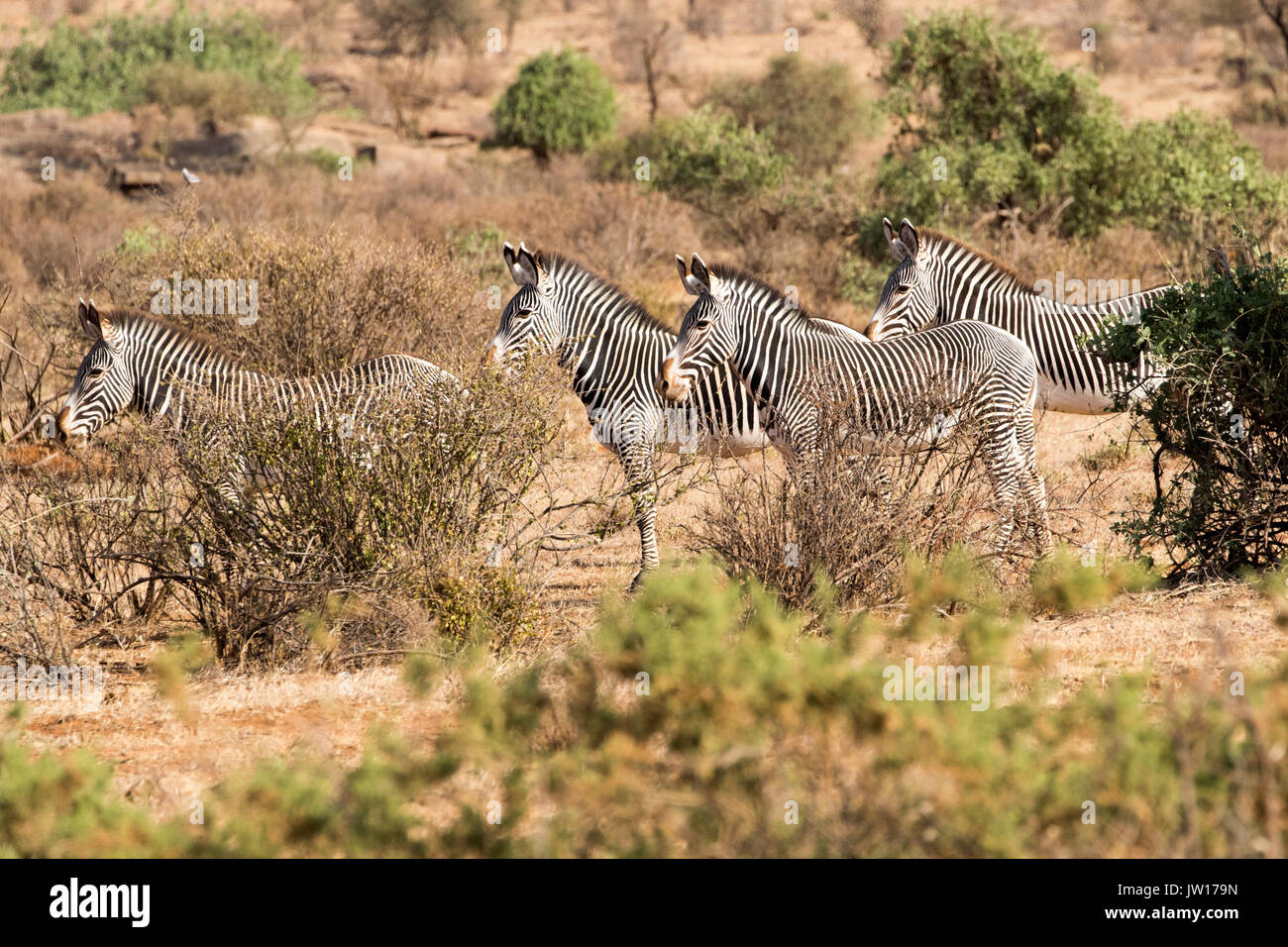 Grevy's Zebra (Equus grevyi) standing on guard towards the direction of a lioness nearby Stock Photo