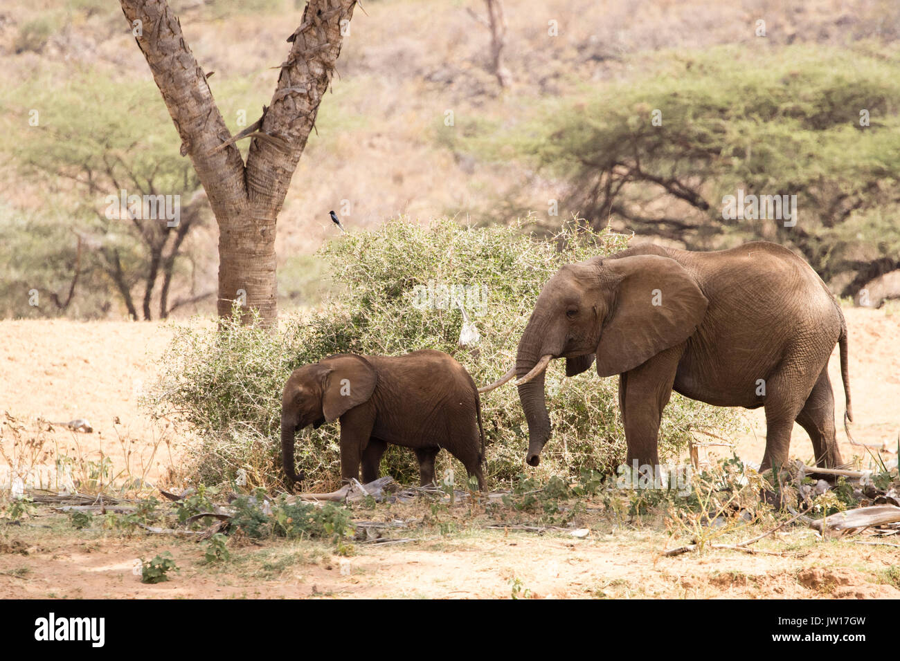 Gentle moment between elephant mother and baby (African Elephant, Africana) Stock Photo
