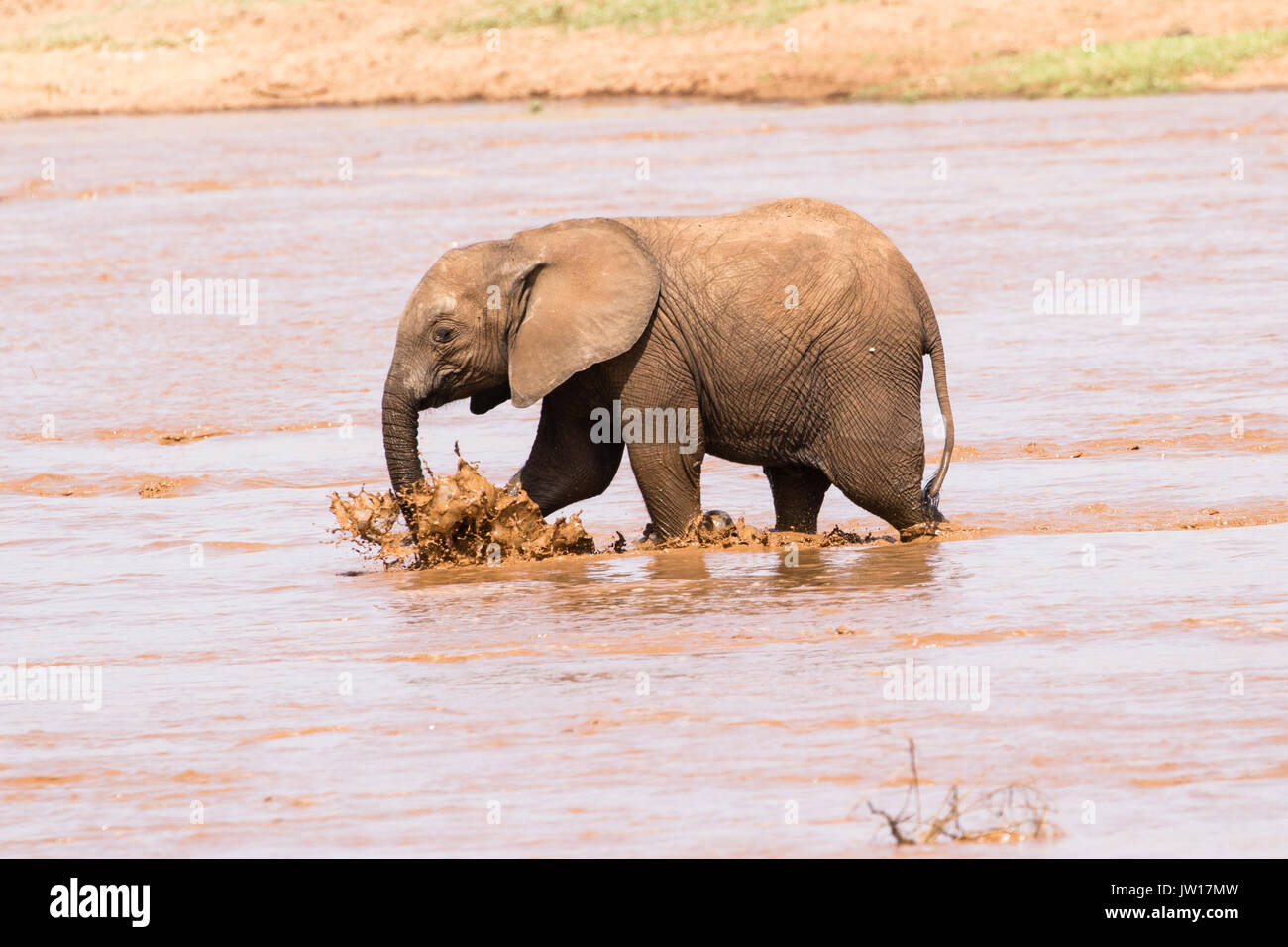 Baby elephant (African Elephant, Loxodonta africana) following its mother to cross the river, making splashes Stock Photo