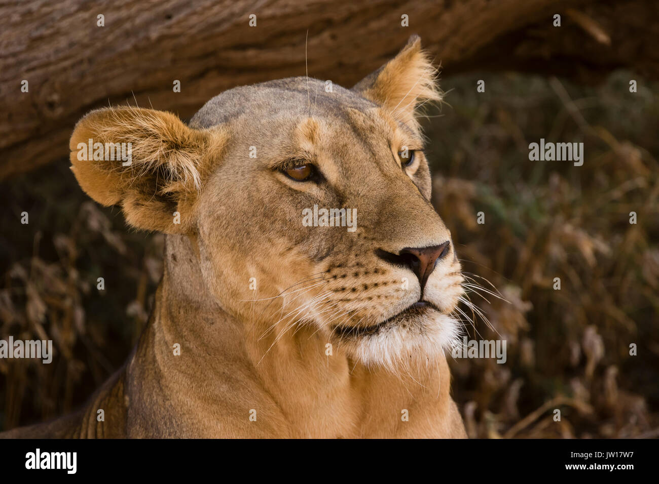 Lioness (Panthera leo) couching for a rest, waiting for the right moment to hunt - Stock Image