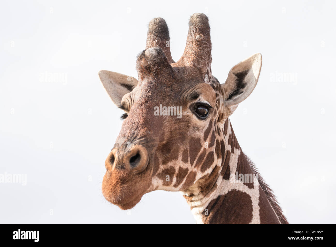 Reticulated Giraffe (Giraffa Camelopardalis reticulata) getting curious about our car passing by. When enlarged, Stock Photo