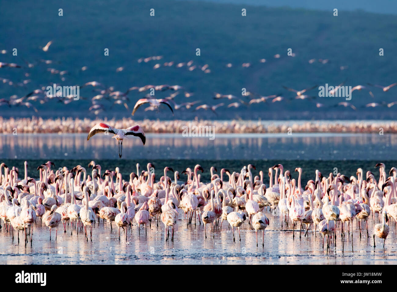 Lesser Flamingos (Phoeniconaias minor) resting and flying at Lake Bogoria early in the morning Stock Photo