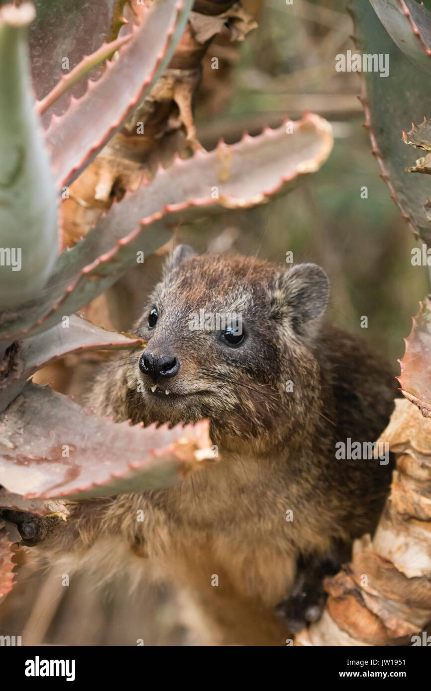 Rock Hyrax (Procavia capensis) baby getting curious Stock Photo