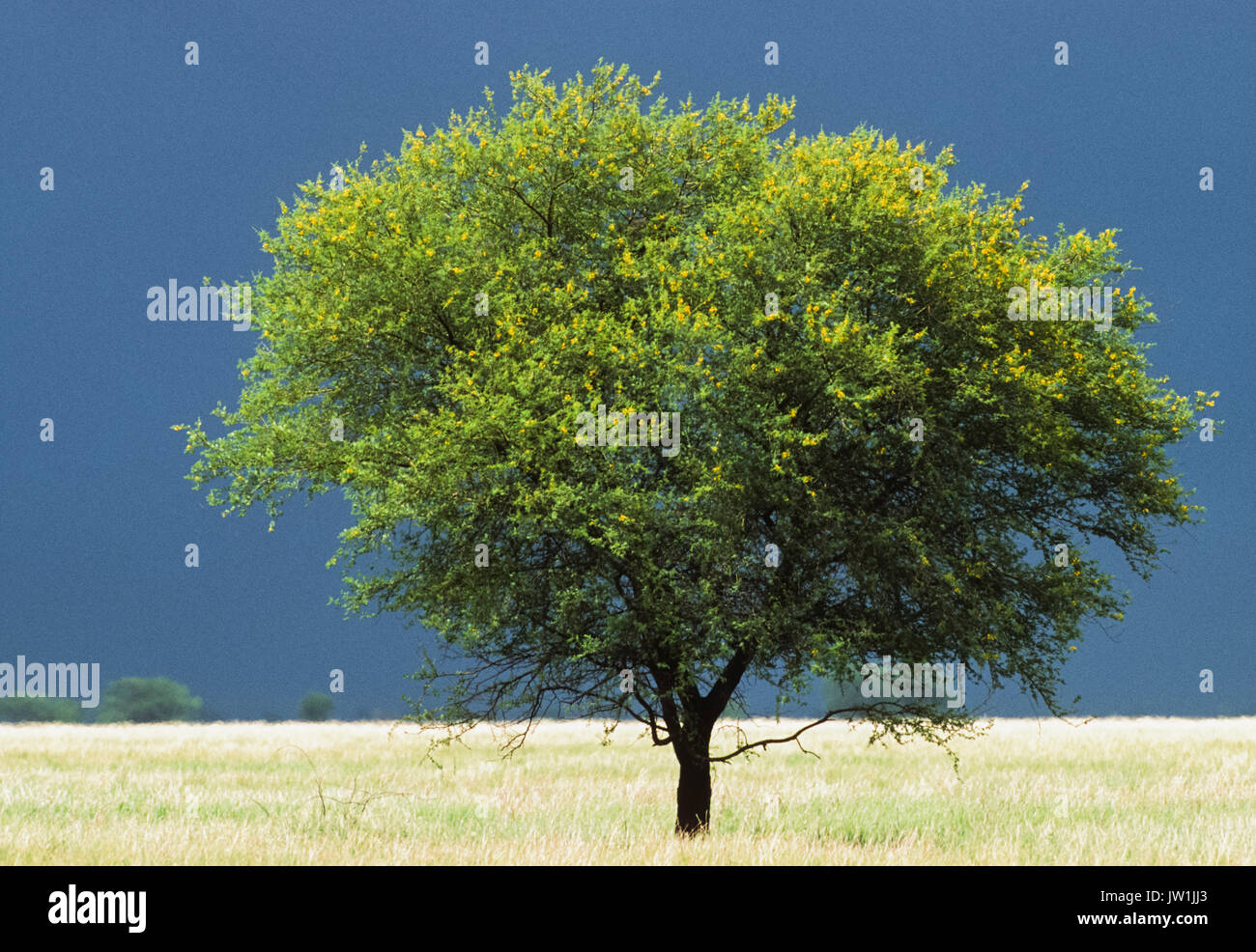 Acacia tree growing in grassland habitat, Blackbuck National Park, Velavadar, Gujarat, India - Stock Image