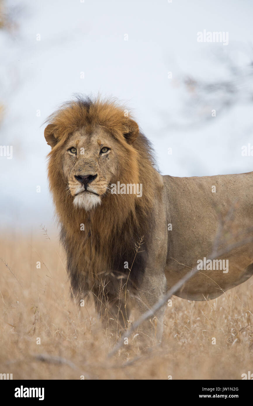 Portrait of a male lion (Panthera leo) with big mane - Stock Image