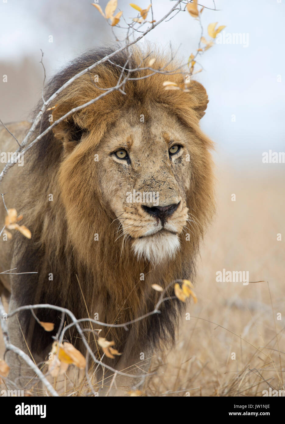 Portrait of an adult male lion (Panthera leo) with large mane - Stock Image