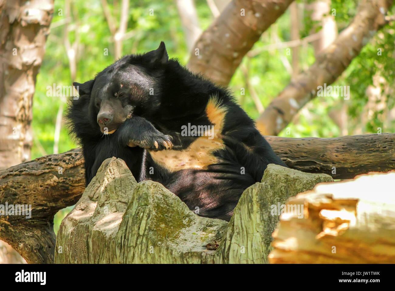 Asian black bear or Ursus thibetanus in zoo - Stock Image