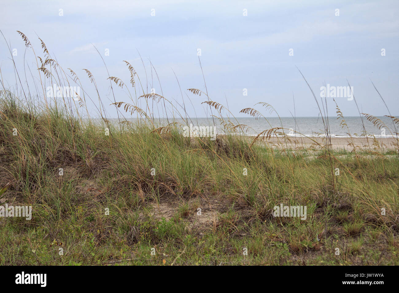 sea oats along hilton head beach south carolina - Stock Image