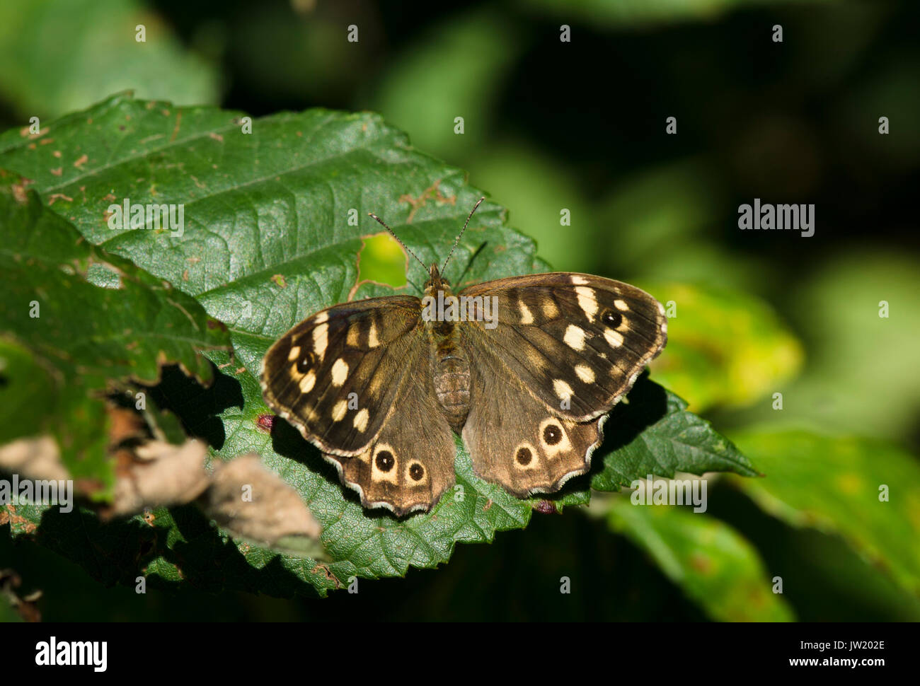 Speckled wood butterfly, Pararge aegeria sunbathing forest border, Limburg, Netherlands - Stock Image