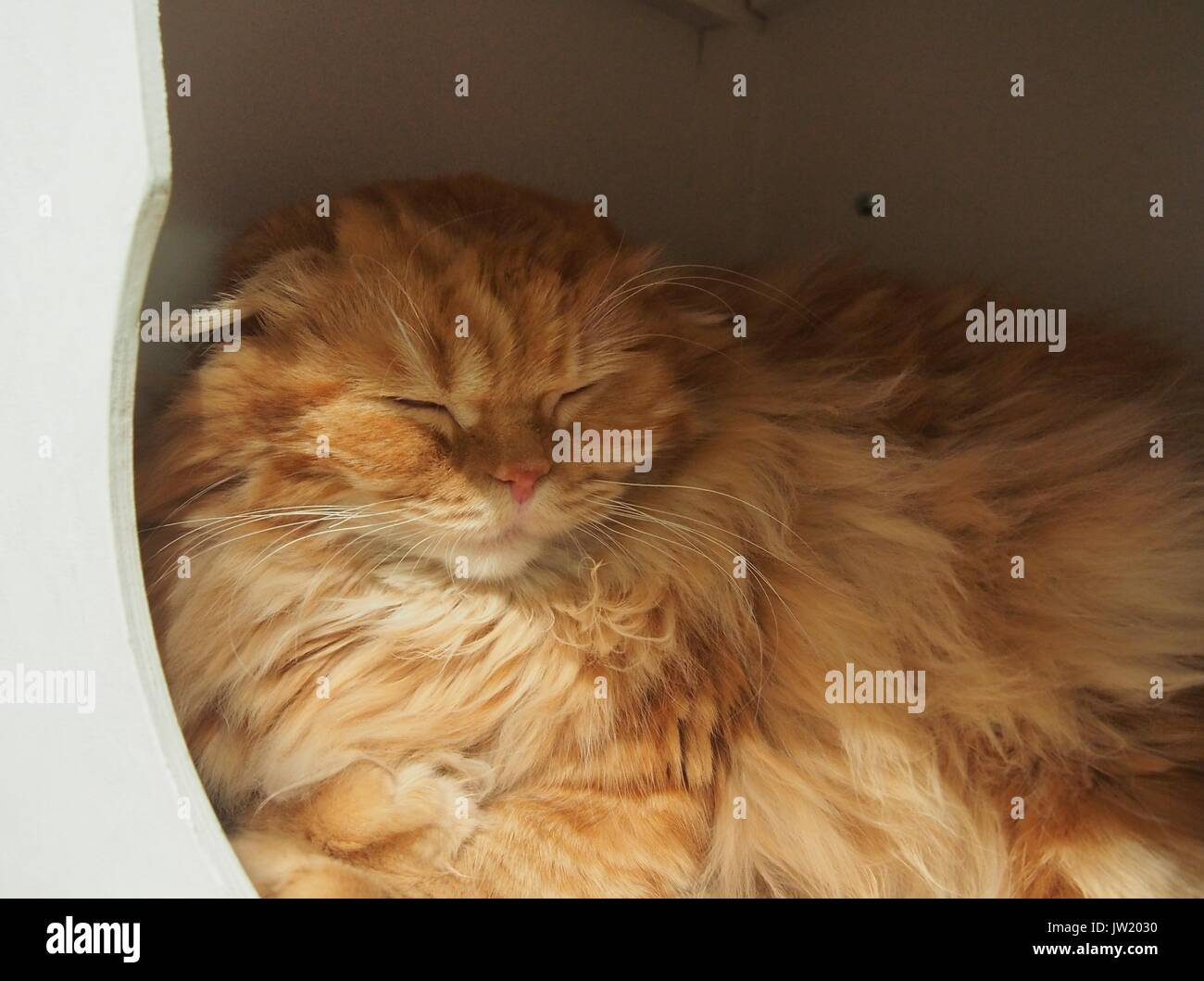 Red fluffy cat sleeping in the house. Pet - Stock Image