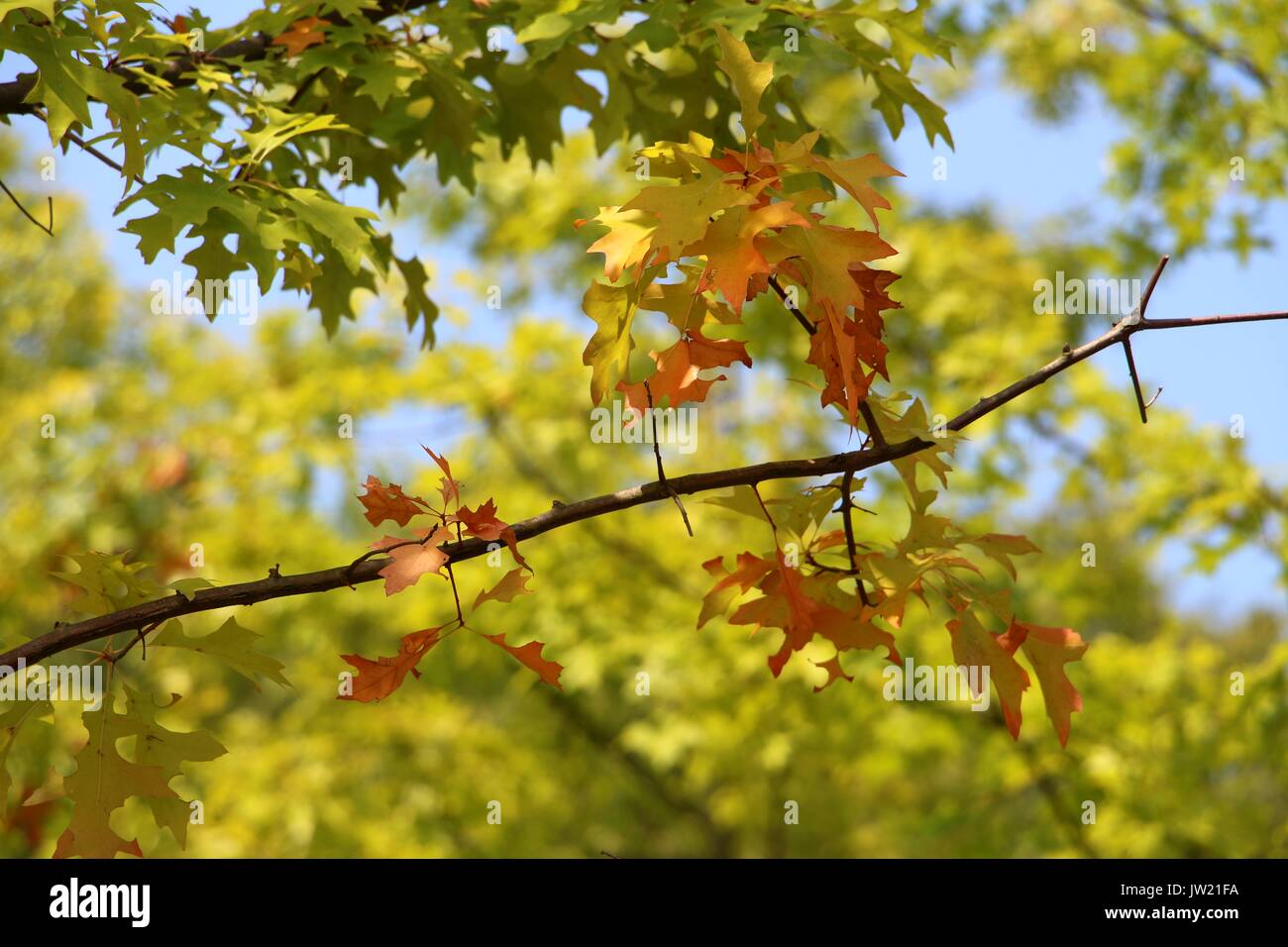 Foliage Change in Colour During Autumn or Fall Season - Stock Image