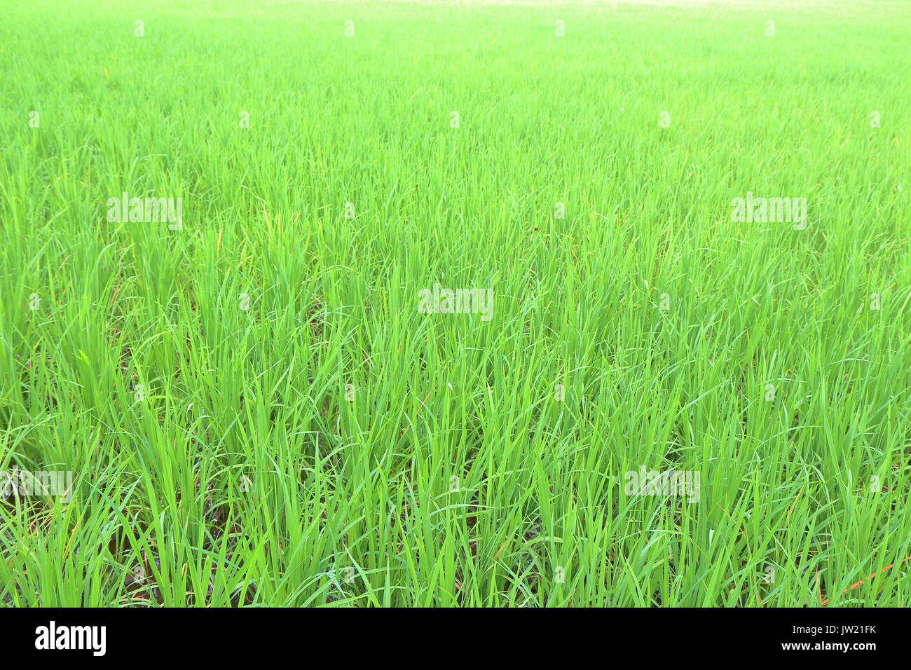 Rice field in the Philippines. Rice is the staple food for Filipinos. - Stock Image