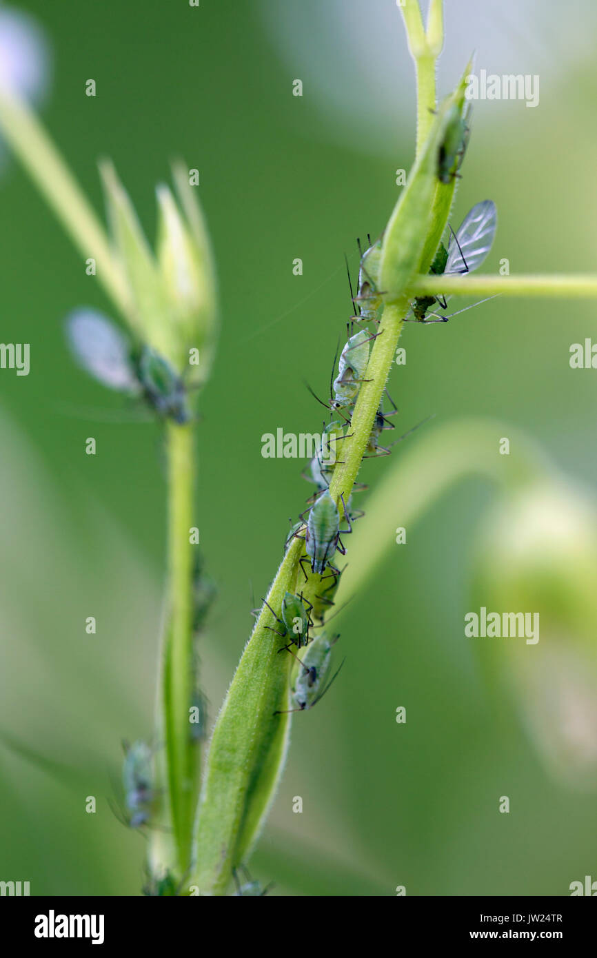 Aphids; On plant Stem Cornwall; UK - Stock Image