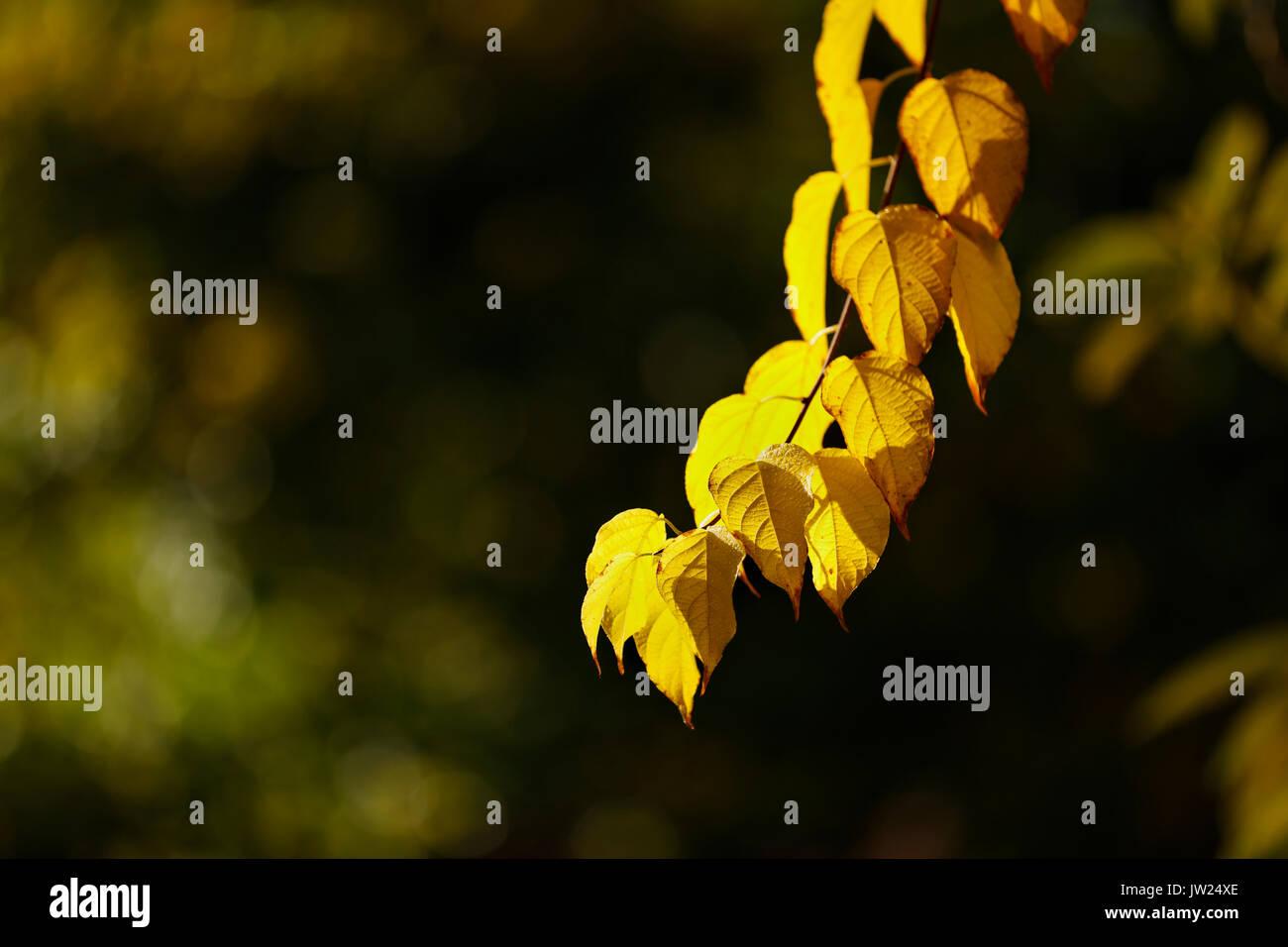 Autumn Leaves in Sunshine; Trebah Garden; Cornwall; UK Stock Photo
