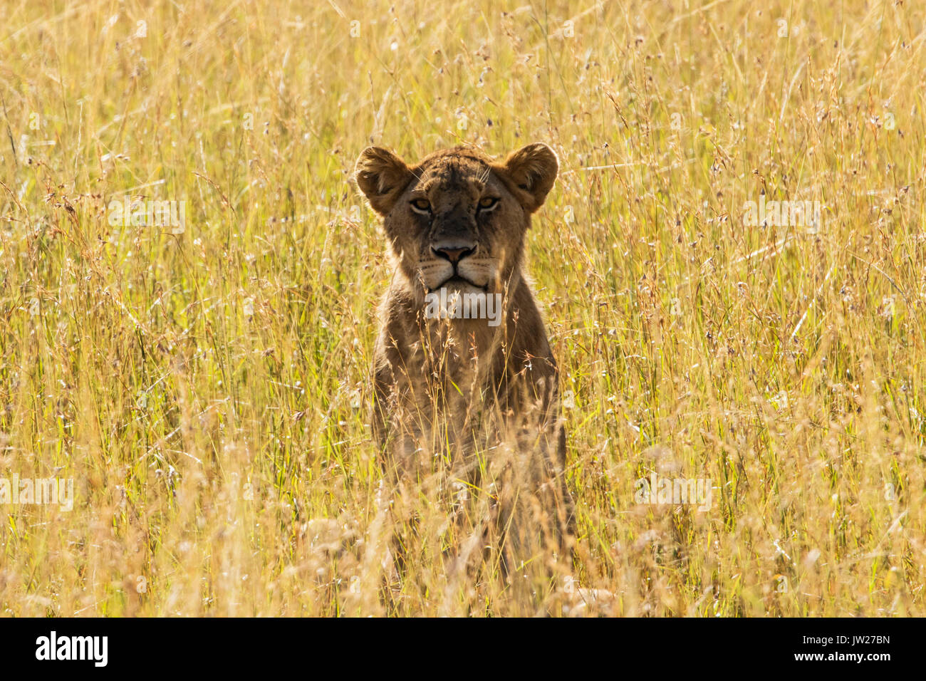 Lioness (Panthera leo) couching among the tall grass, looking at the camera - Stock Image