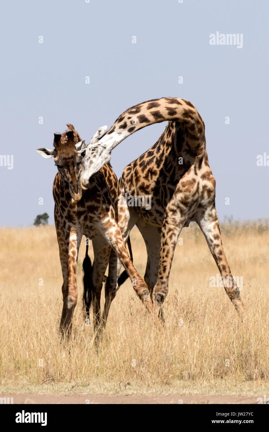 Two young Masai Giraffe (Giraffa Camelopardalis tippelskirchi) fighting Stock Photo