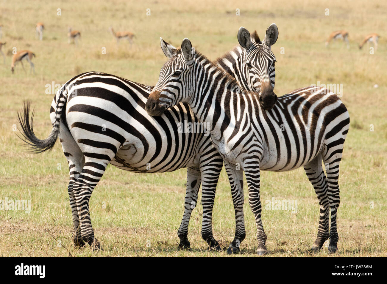 Sweet moment between Plain Zebra (Equus quagga) mother and young child, leaning on each other - Stock Image