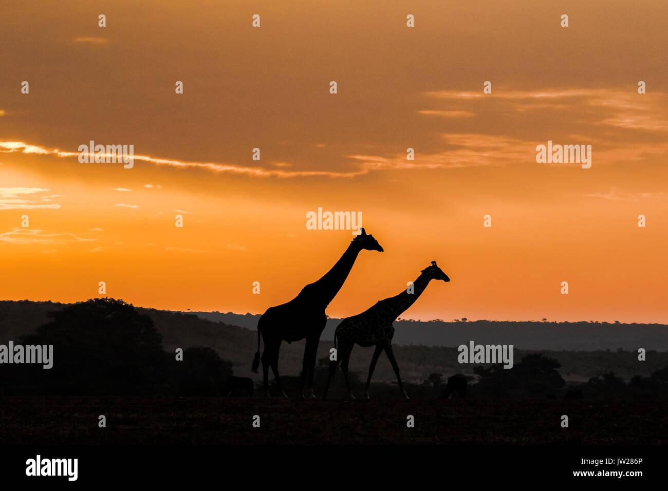 Masai Giraffe (Giraffa Camelopardalis tippelskirchi) mother and child on the savannah at sunrise Stock Photo