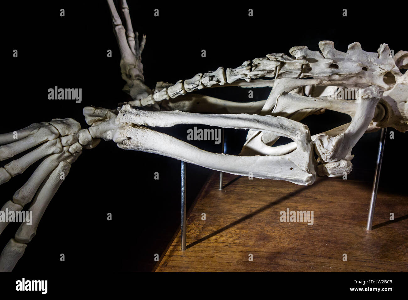 Detail of common seal / harbor seal /  harbour seal (Phoca vitulina) skeleton showing phalanges, tibia, femur and fibula bones in hind limb - Stock Image