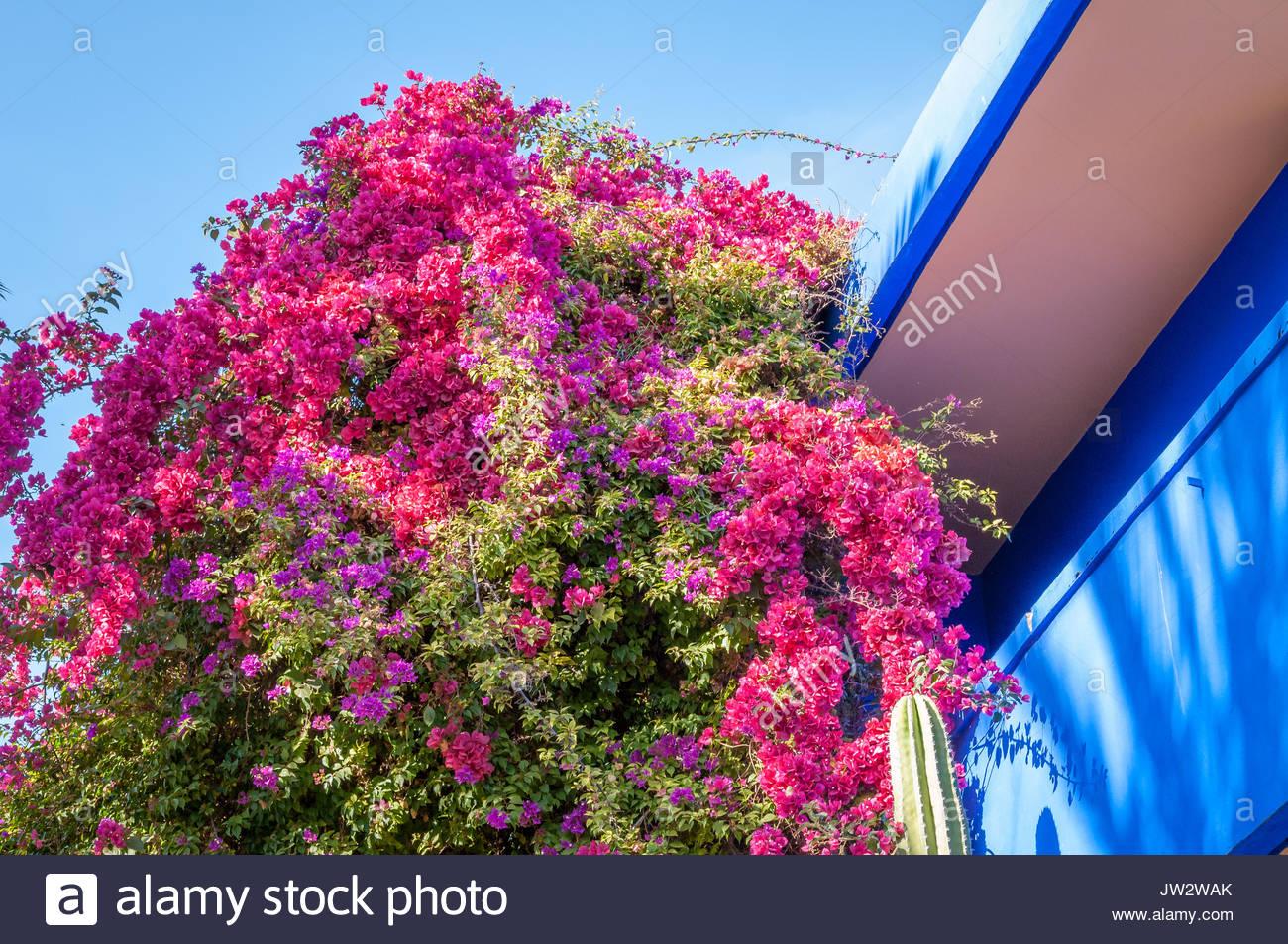 Pink flora in bloom at Jardin Majorelle, Marrakech. - Stock Image