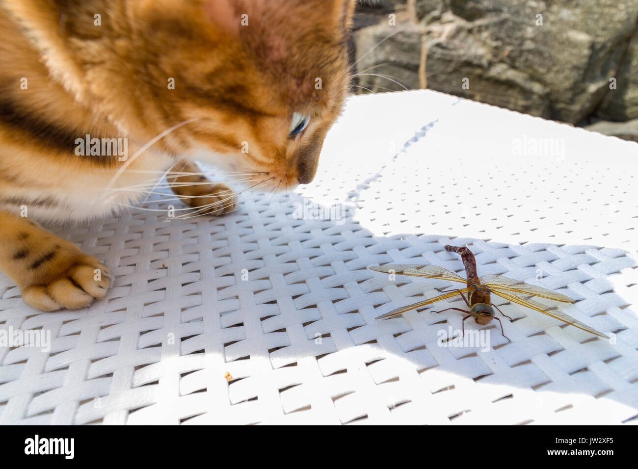 Female Bengal cat capturing, toying with and eventually killing a large dragon fly insect outdoors  Model Release: No.  Property Release: Yes. - Stock Image