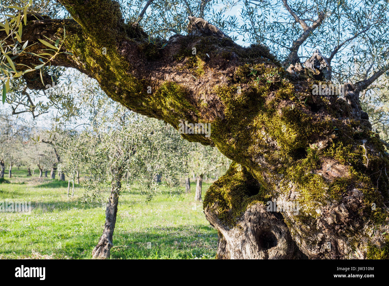 Secular olive trees in the region of Umbria (Italy). - Stock Image