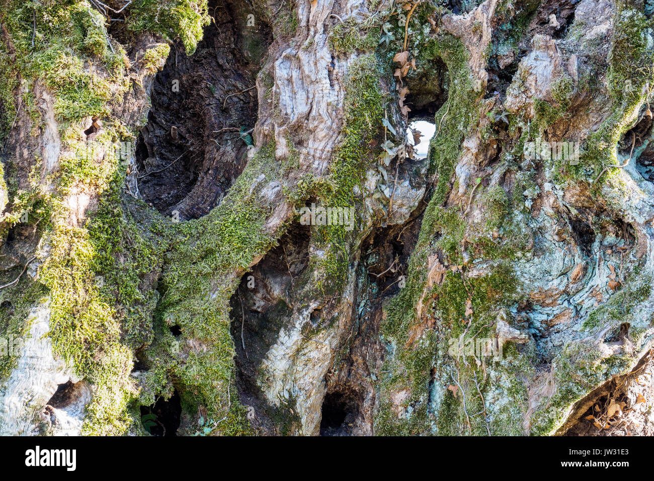 Secular olive tree trunk with musk in the region of Umbria (Italy). - Stock Image