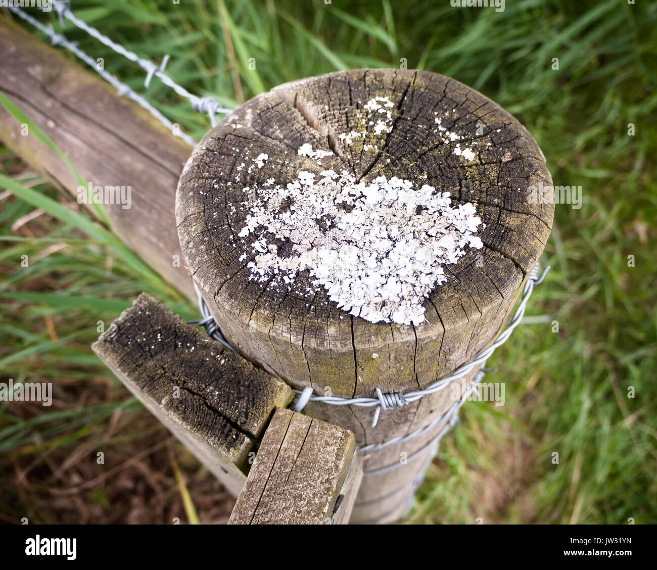 strange white moss fungus growing on a wooden post countryside outside; UK - Stock Image