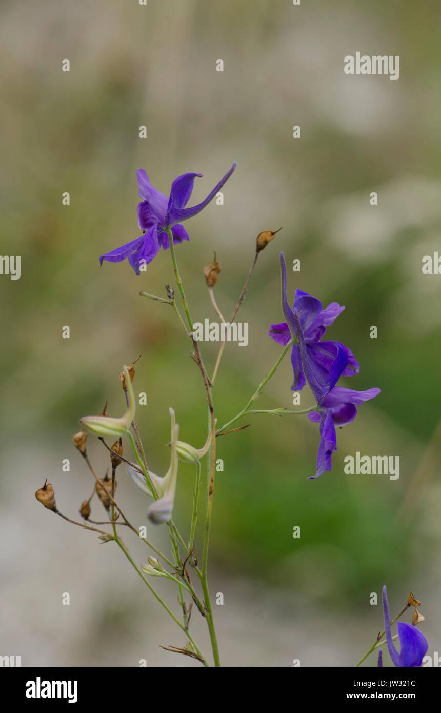 Consolida ajacis. Consolida ambigua, Delphinium ajacis, Delphinium ambiguum, doubtful knight's spur, rocket larkspur, wildflower, plant. - Stock Image