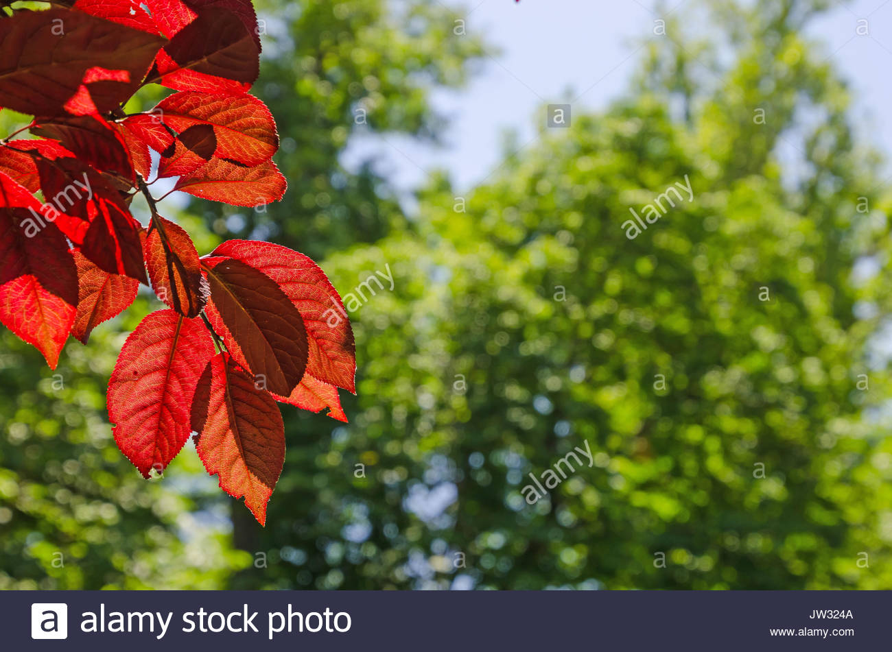 Red Leaves In A Red Leaved Plum Tree Over A Blurred Green Trees