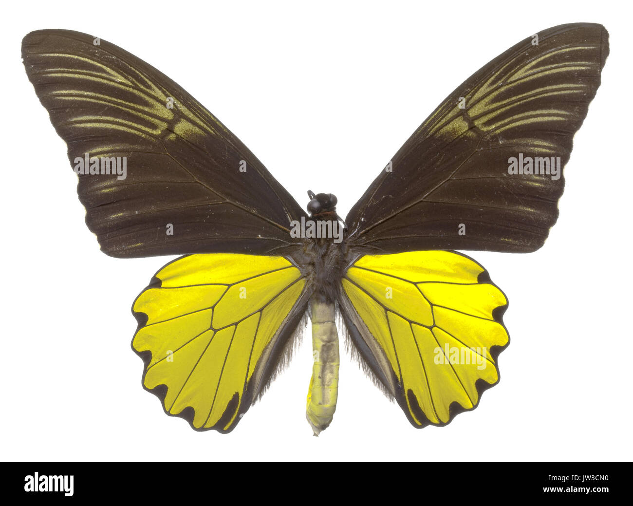 Birdwing Butterfly (Troides cuneifer paeninsulae), male - Stock Image